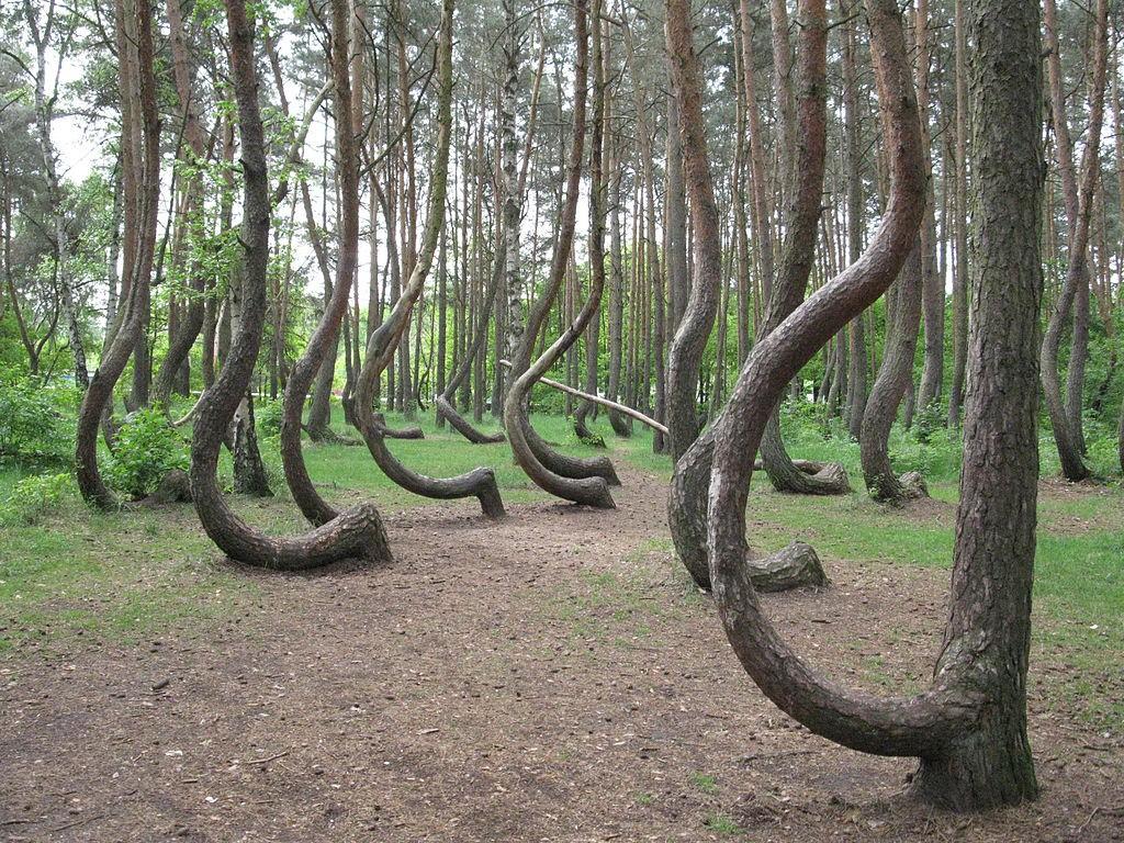 Krzywy Las - Lista zaskakujących miejsc w Polsce - Autor: Rzuwig Źródło: commons.wikimedia.org