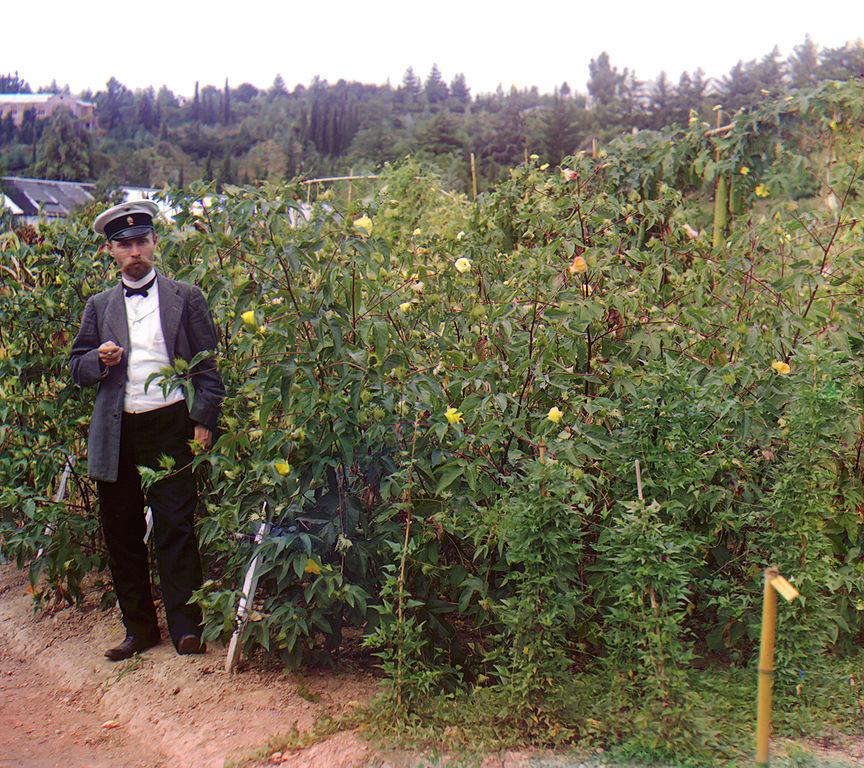 Rosjanin stojący obok krzewów bawełny.