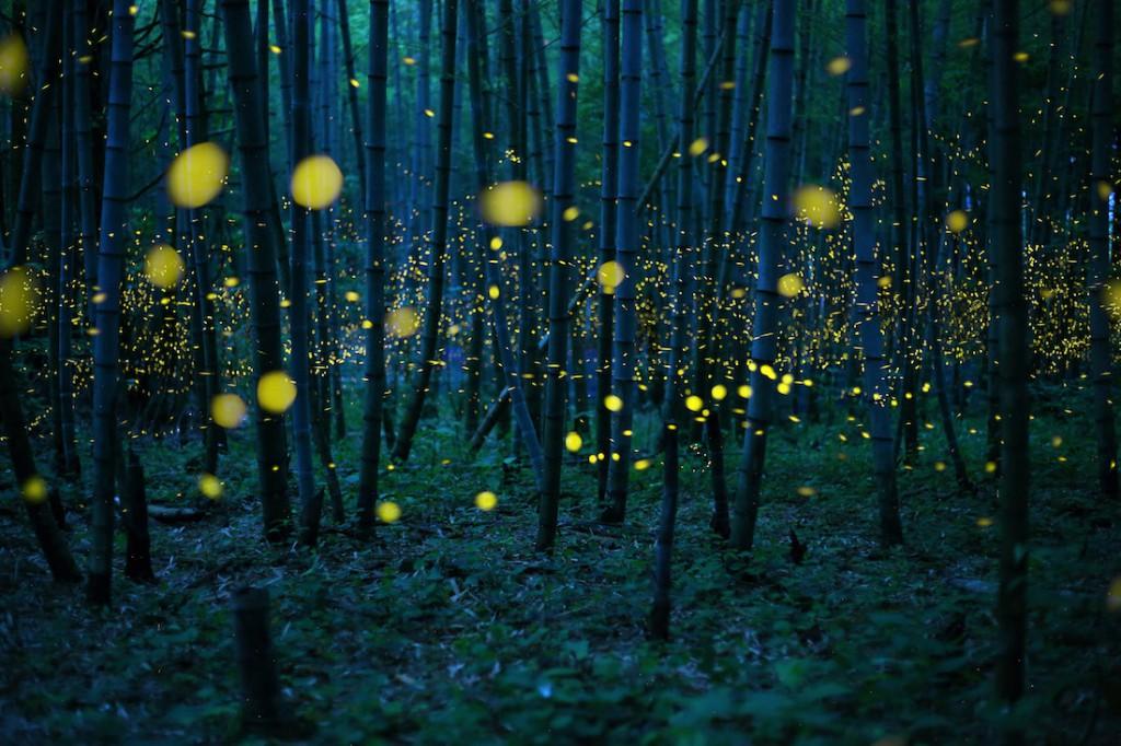 Świetliki gatunku Luciola w bambusowym lesie w Japonii - Foto: ® Kei Nomiyama, Japan, Shortlist, Open Low Light, 2016 Sony World Photography Awards