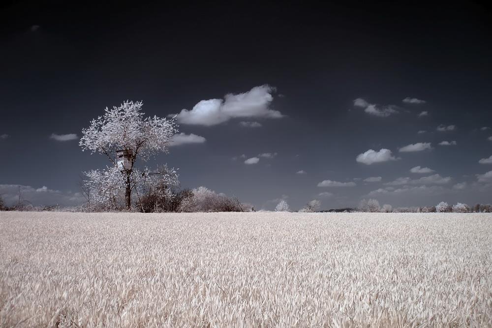 Kwitnąca czereśnia i ambona - Foto: Kamil Pluta