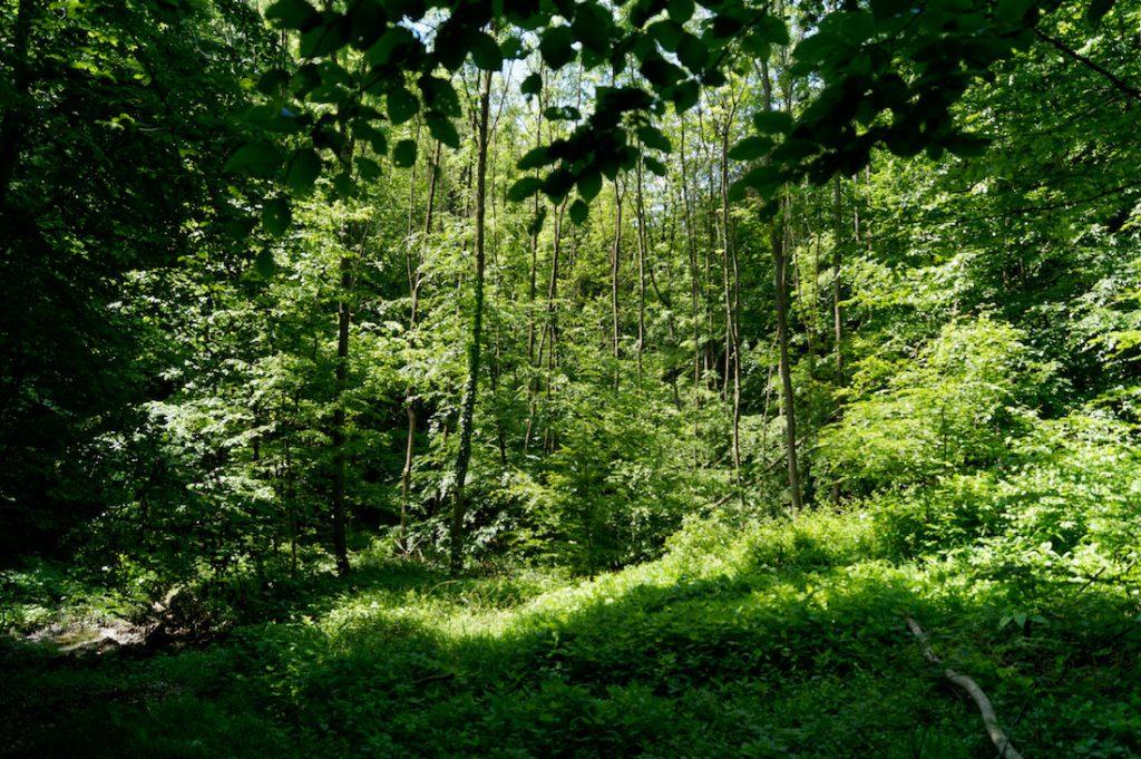 Przez tak gęste lasy Wienerwaldu musiały przedzierać się wojska Rzeczypospolitej