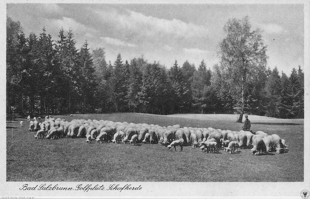 Tam gdzie gra się w golfa, tam są owce – naturalne kosiarki do trawy – Źródło: polska-org.pl